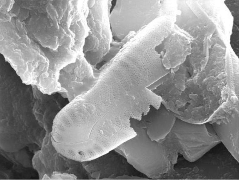Distinct fossil diatom frustule fused into the rock structure