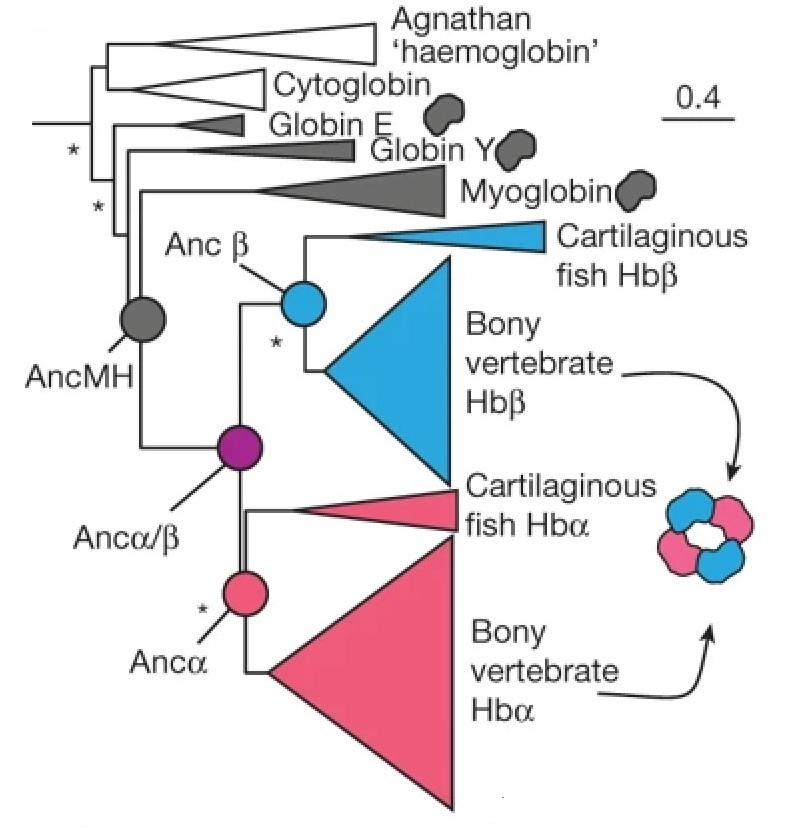 Reconstructed haemoglobin evolution