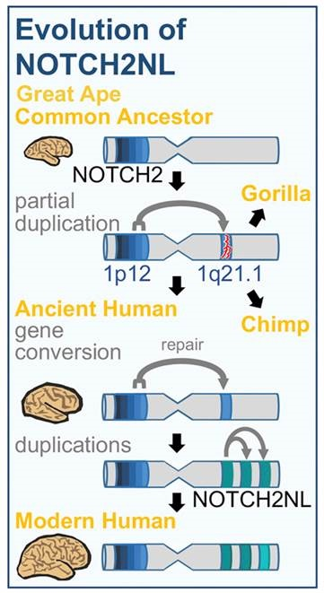 the creation of the modern forms of NOTCH2NL genes